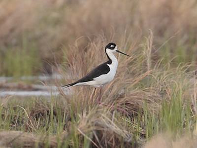 black-necked-stilt