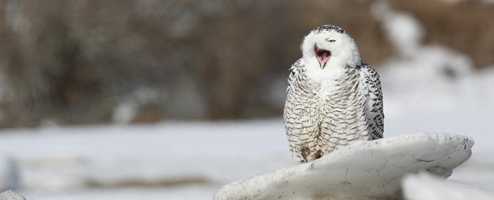 snowy-owl-home